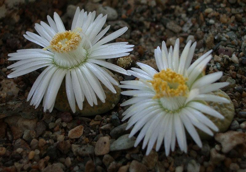 Lithops fulviceps 'Aurea'