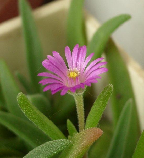 Цветок делоспермы (Delosperma aberdeenense), 39Кб