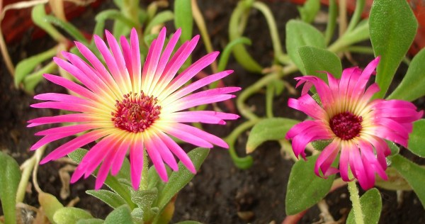 Цветок доротеантуса, 55Кб