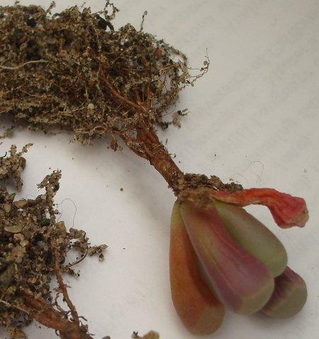 Fenestraria rhopalophylla subsp. aurantiaca с корнями (40Кб)