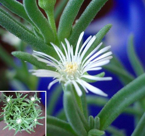 Цветок Delosperma steytlerae (45Кб)