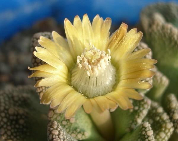Цветок титанопсиса (Titanopsis calcarea) 56Кб
