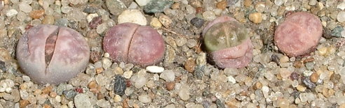 Четыре сеянца литопсов, один из которых полинял и отличается по цвету от остальных (31Кб)