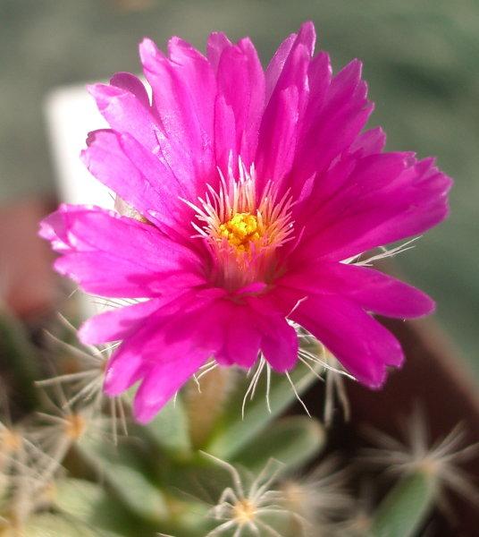 Цветок триходиадемы крупным планом (55Кб)
