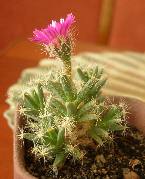 Цветущая Trichodiadema densum (96Кб)