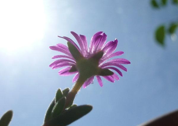 Цветок делоспермы в лучах солнца на фоне неба (27Кб)