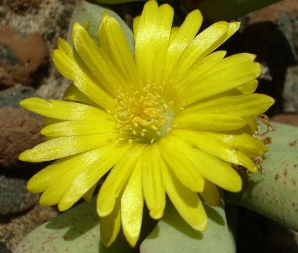 Цветок швантезии Пилланса крупным планом. 78Кб