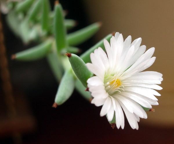 Цветок Trichodiadema aff. orientale (42 Кб)