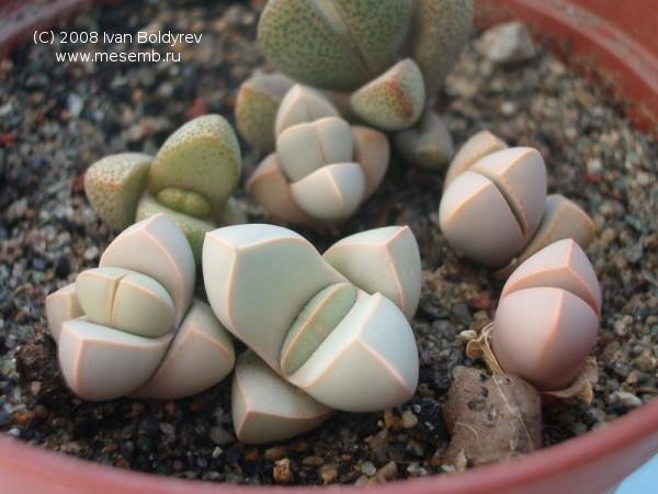 Lapidaria margaretae (65Кб)