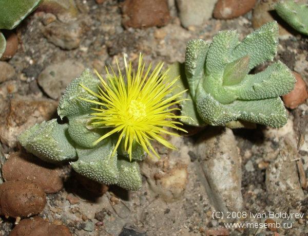 Цветок Stomatium bolusiae ex ЦСБГ (79Кб)