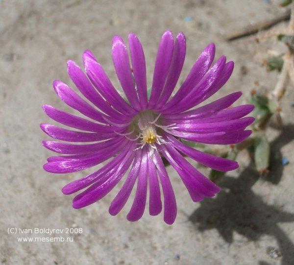 Цветок Trichodiadema barbatum (54Кб)