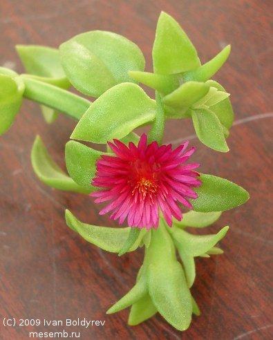 Цветок и бутоны Aptenia cordifolia (44Кб)