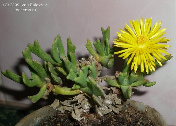 Общий план Rhombophyllum dolabriforme (52Кб)