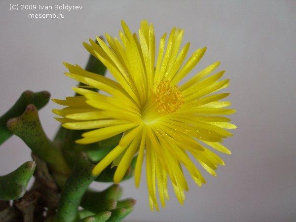Цветок Rhombophyllum dolabriforme (40Кб)