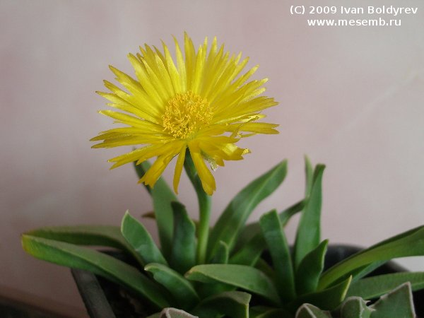 Цветок бергерантуса (34Кб)