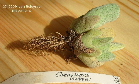 Cheiridopsis herrei (48Кб)
