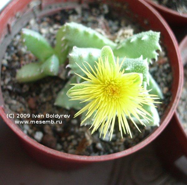 Цветёт стоматиум (Stomatium trifarium), 61Кб