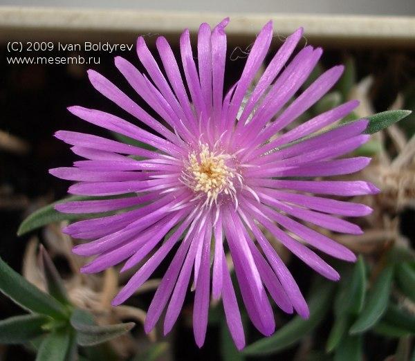 Цветок делоспермы лейденбургской (Delosperma lydenburgense)