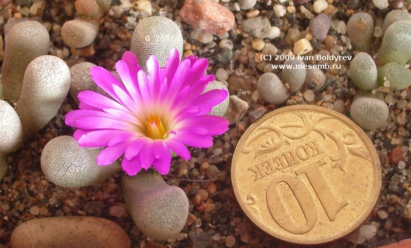 Цветок фритии прекрасной (Frithia pulchra), 99Кб