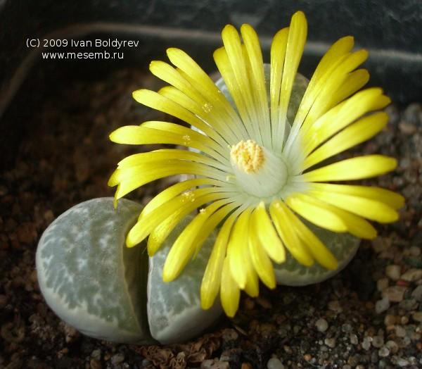 Цветок литопса (Lithops aff. helmutii), 74Кб