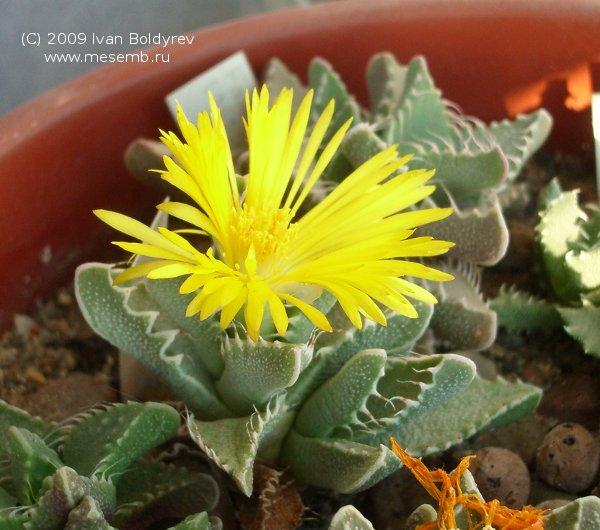 Цветок фаукарии (63Кб)