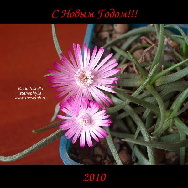 Marlothistella%20stenophylla%20HNY%20IMGP7537.jpg