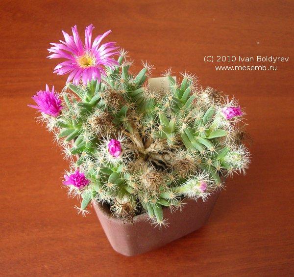 Цветёт Trichodiadema densum (77Кб)