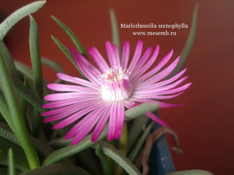 Marlothistella stenophylla (76Кб)
