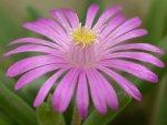 Цветок Делоспермы абердинской (Delosperma aberdeenense)