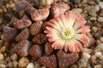 Цветущий титанопсис (Titanopsis hugo-schlechteri)